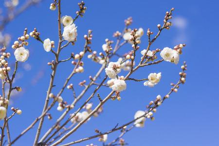 White plum flowers Yaesu