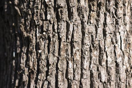 Camphor tree bark