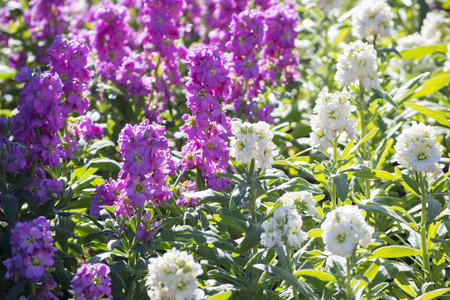 Purple and white flowers in garden
