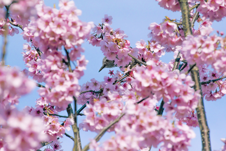Cherry blossoms and Brown-eared bulbul