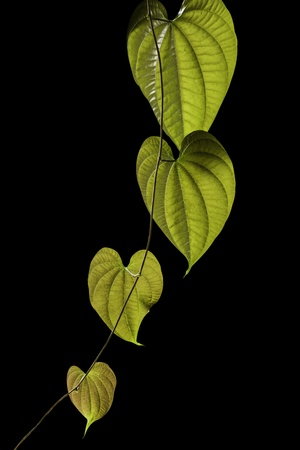 The leafs of vine that look like the heart Stok Fotoğraf