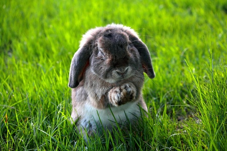 The Holland Lop rabbit breed in the green grass field