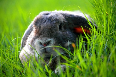 lop: The Holland Lop rabbit breed in the green grass field