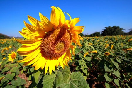 The Sunflower bloom in a field at noon