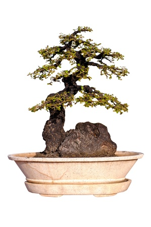 Evergreen Bonsai on Isolated background  Banco de Imagens