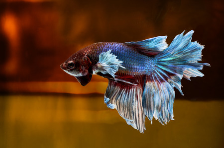 Siamese Fighting Fish isolated on location  Clipping path included  photo