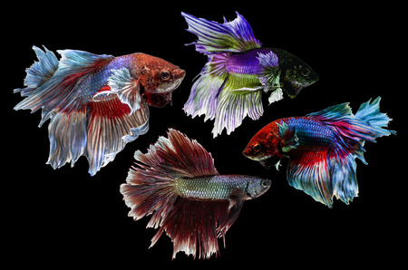 Siamese Fighting Fish isolated on black  Clipping path included  photo