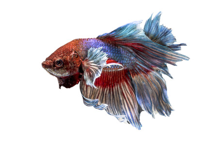 Siamese Fighting Fish isolated on white  Clipping path included  photo
