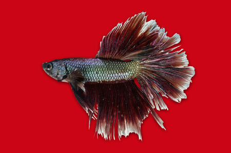Siamese Fighting Fish isolated on red  Clipping path included  photo