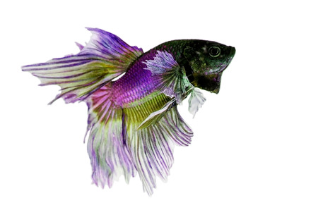 Siamese Fighting Fish isolated , betta on white  background:  Clipping path included photo