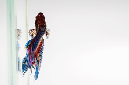 Siamese Fighting Fish isolated , betta on white  background:  Clipping path included Stock Photo - 25865146