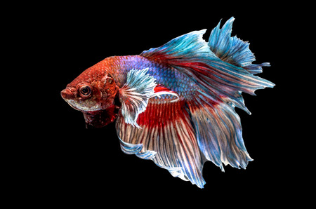 Siamese Fighting Fish isolated , betta on black background:  Clipping path included photo