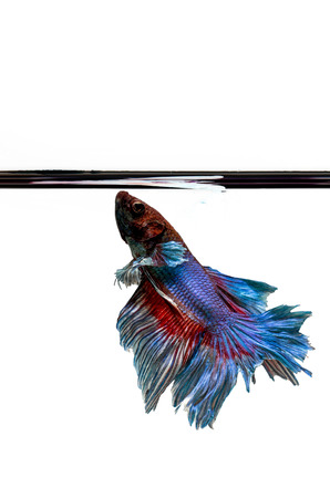 Siamese Fighting Fish isolated , betta on white  background:  Clipping path included Stock Photo - 25908460