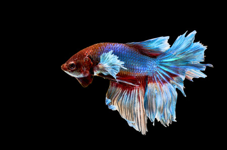 Siamese Fighting Fish isolated on black background photo