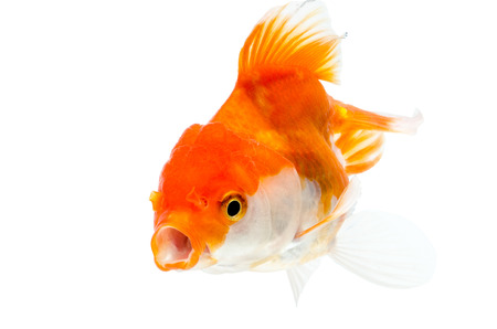 Gold fish on a white background photo