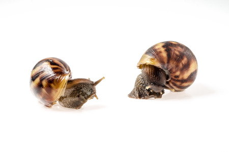 two Garden snail isolated on white photo