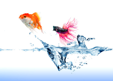 A  Siamese Fighting Fish  jumping chase a golden fish on white photo