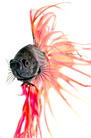 Close-up underwater view  Siamese Fighting Fish isolated on white   photo