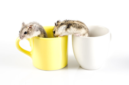 hamsters: two Little hamsters  going out  a yellow cup and white cup Stock Photo