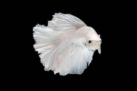 fighting fish, betta on black background  photo