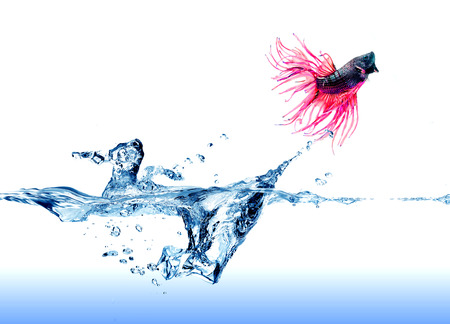 A  Siamese Fighting Fish  jumping out of the water on white   photo
