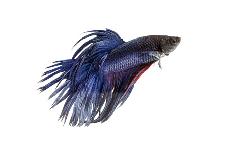 fighting fish, betta on white background  photo