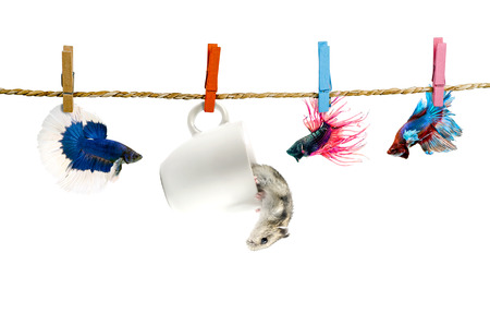 Betta and Hamster hanging on the clothesline  Isolated photo