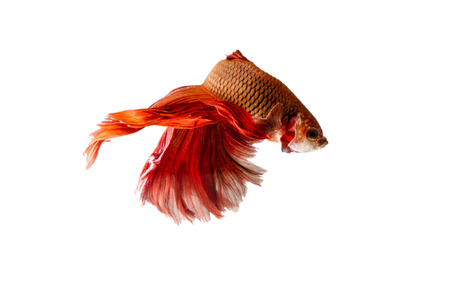 Siamese Fighting Fish isolated on white photo