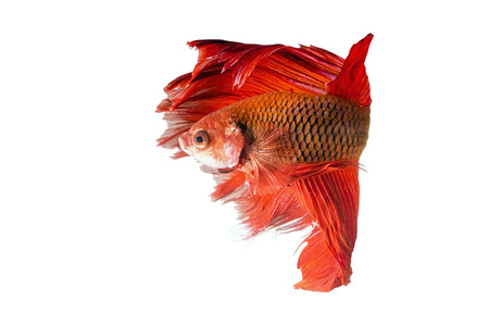 Siamese Fighting Fish isolated on white : Clipping path included photo