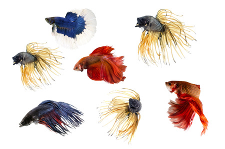Group ofSiamese fighting fish, Beta fish on white background