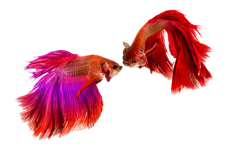 Two Halfmoon Siamese Fighting Fishes isolated on white background. photo