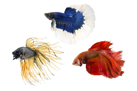 half moon tail: Group ofSiamese fighting fish, Beta fish on white background