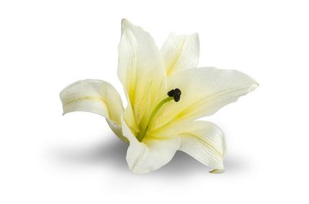 lirio blanco: Blanca Lily aisladas sobre fondo blanco