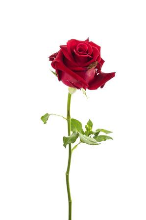 sapless: closeup del germoglio prosciugato di una rosa rossa over white