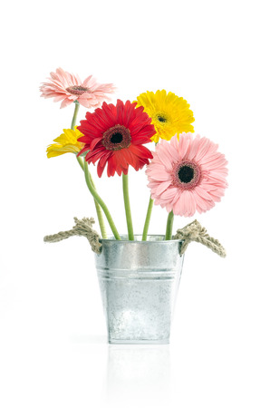 daisys: Group of Fresh Daisys in zinc bucket  isolated, Clipping path included