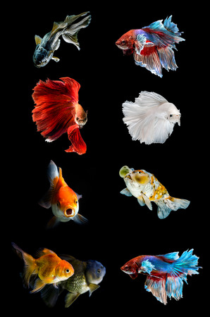 Verzameling van verschillende vis op zwarte achtergrond, vechten vis, gouden vis