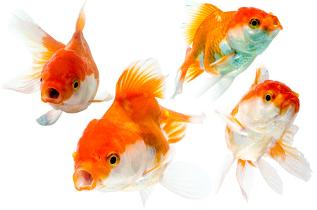 goldenfish: collection of goldfish isolated on white