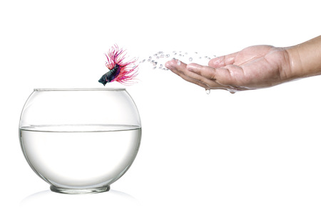 siamese fighting fish: Siamese fighting fish jumping out of  human palm and into fishbowl isolated on white Stock Photo