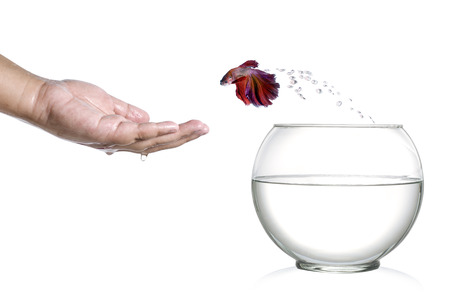 siamese fighting fish: Siamese fighting fish jumping out of fishbowl and into human palm isolated on white