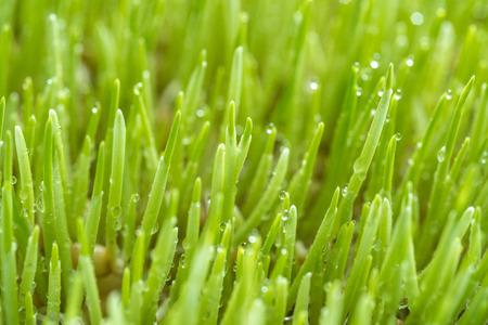 Macro shot of  Freshly grown organic Wheatgrass ready to juice