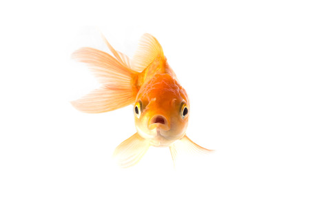 white space: Studio Shot of Golden koi fish scared isolated on white background.