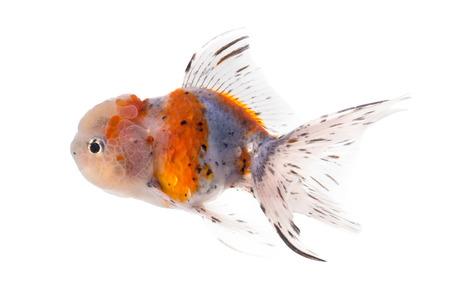 golden fish: Studio Shot of Golden fish isolated on white background.