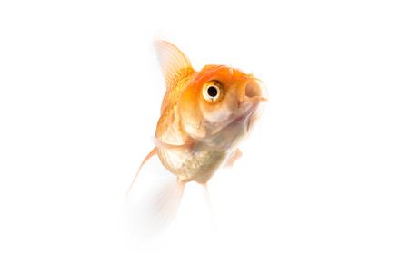 goldfish isolated: Studio Shot of Orange Goldfish Isolated on White Background