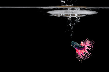 Fighting fish in water. swimming in front of black background. Stock Photo