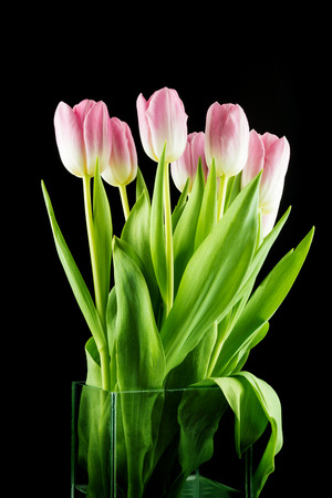 loveliness: Tulips. pink flowers isolated on a Black background Stock Photo
