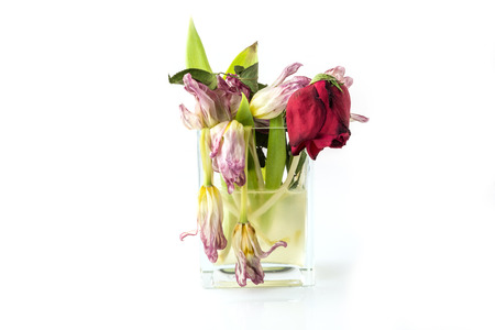 dead end: A vase full of withered and dead flowers (tulips). Isolated on white. Stock Photo