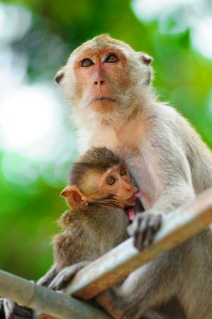 Monkey mother care and breastfeeding Stock Photo