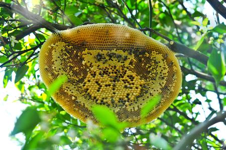 Honeycomb Or Bee\'s Nest In Organic Orange Garden, Bees Nesting ...