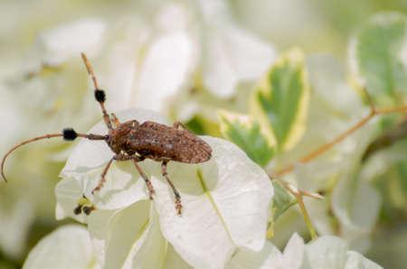 Coleoptera Cerambycidae