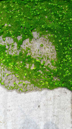 Green mussels float on wooden boards. duckweed